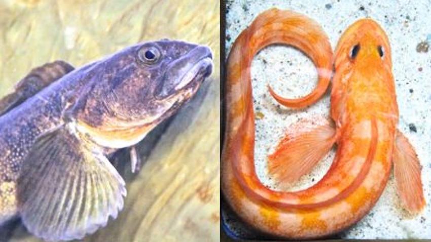 Sjælden mutantfisk fanget i Øresund