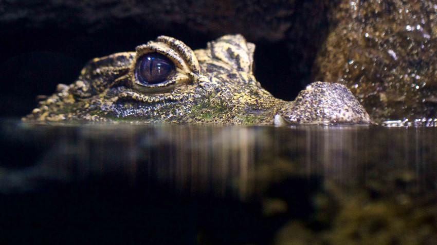 Verdens mindste krokodille