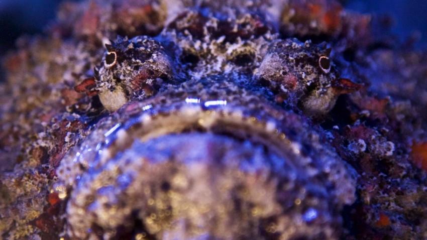 Stenfisk - verdens giftigste fisk