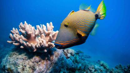 Hvorfor er Great Barrier Reef ved at uddø?