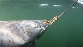 Rekord: Grønlandshajen kan blive cirka 400 år gammel