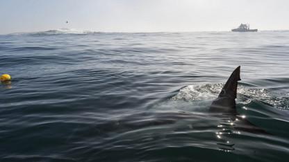 Hajen: rovdyr eller byttedyr?
