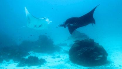 Mantaer – havets majestætiske kæmper