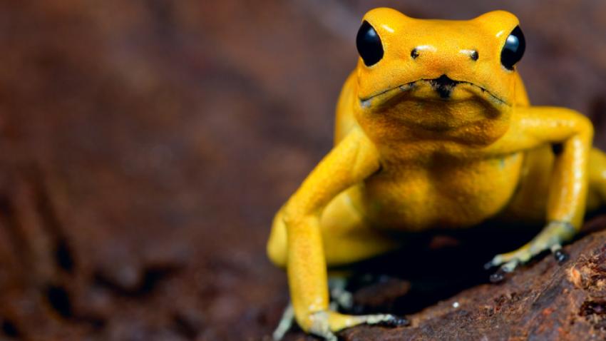 Skal verdens giftigste frøer hoppe frit i Amazonas?