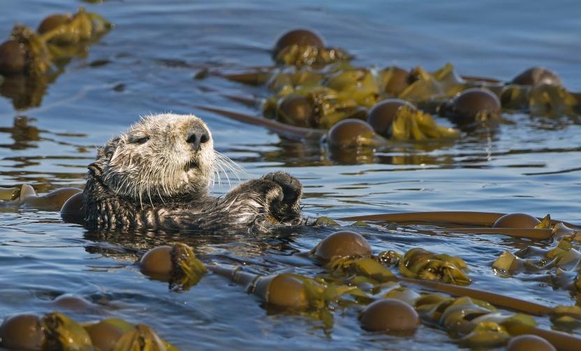 Havodder svømmer i kelp i Alaska