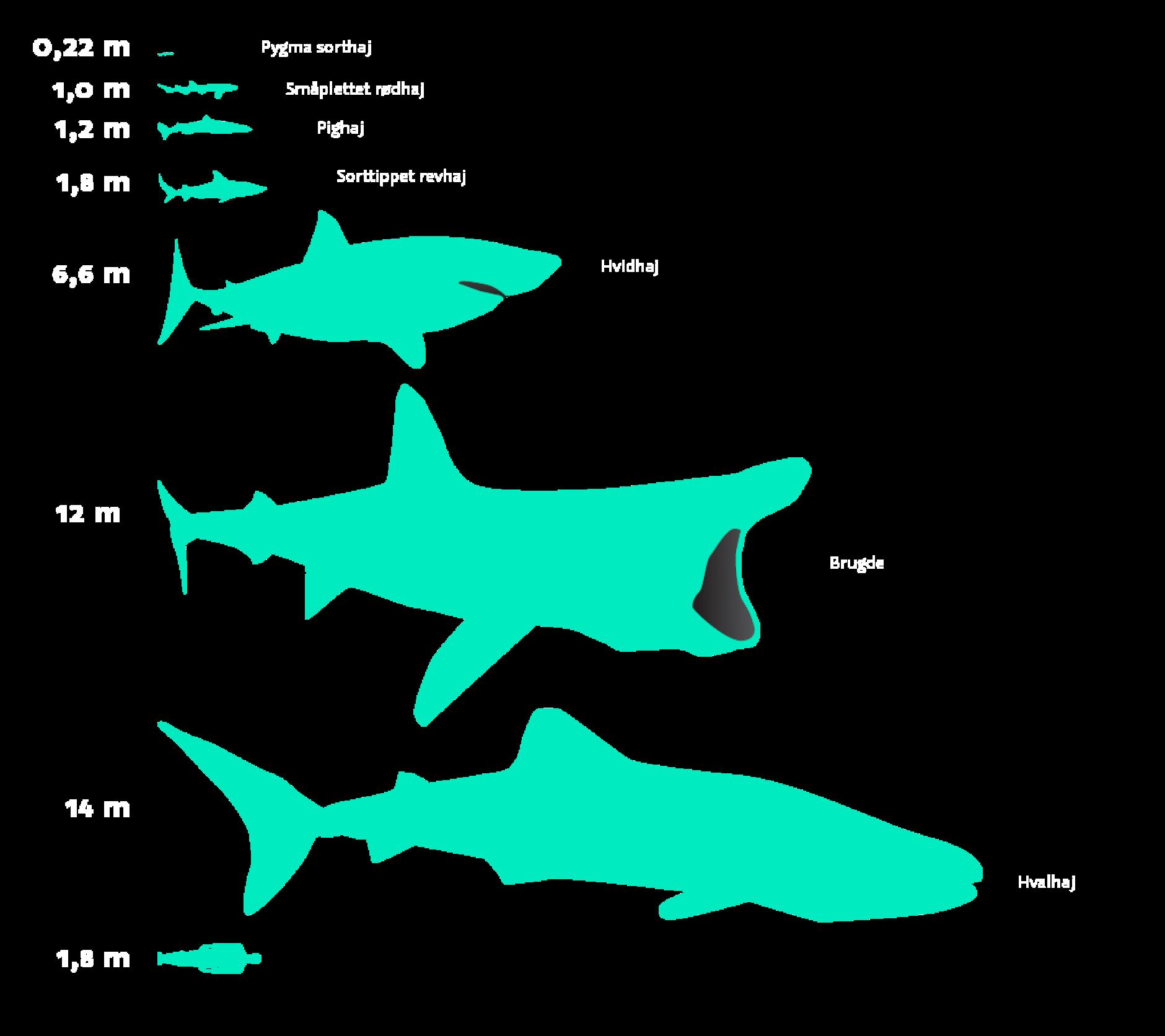 Haj størrelser