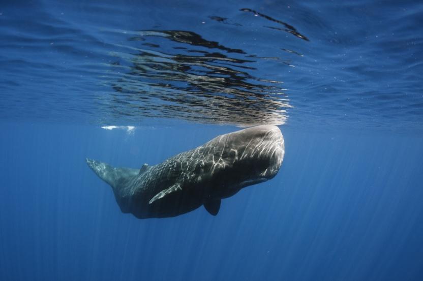 er en blåhval større end en sædhval