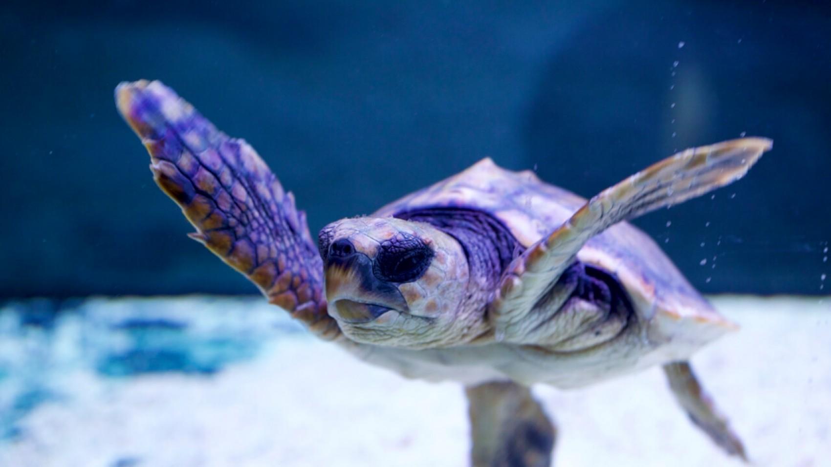 Den strandede havskildpadde flytter i større bolig