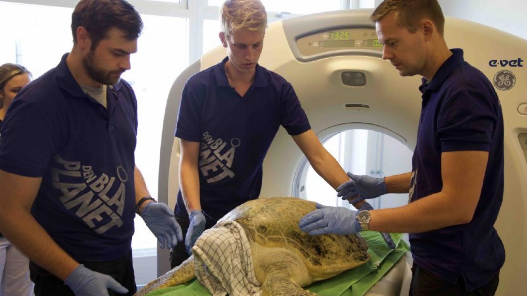 Havskildpadder til CT-scanning