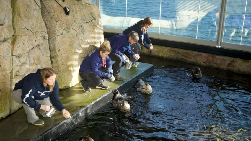 Finally! All four otterly adorable sea otters can be seen at Den Blå Planet
