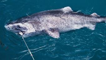 Grønlandsekspedition: Jagten efter verdens ældste haj