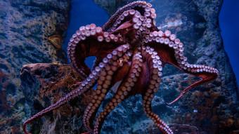 Sådan arbejder vi med verdens største 8-armede blæksprutteart