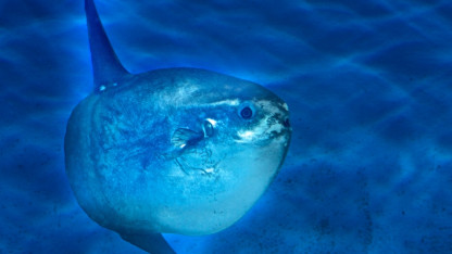 Klumpfisk – kær fisk har mange navne
