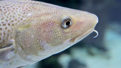 Øresunds torsk og junkfood teorien