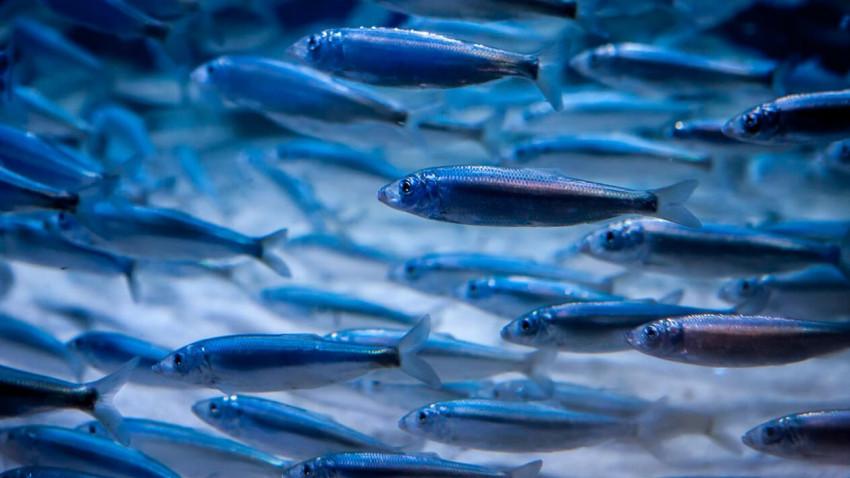Vi tæller Danmarks fisk