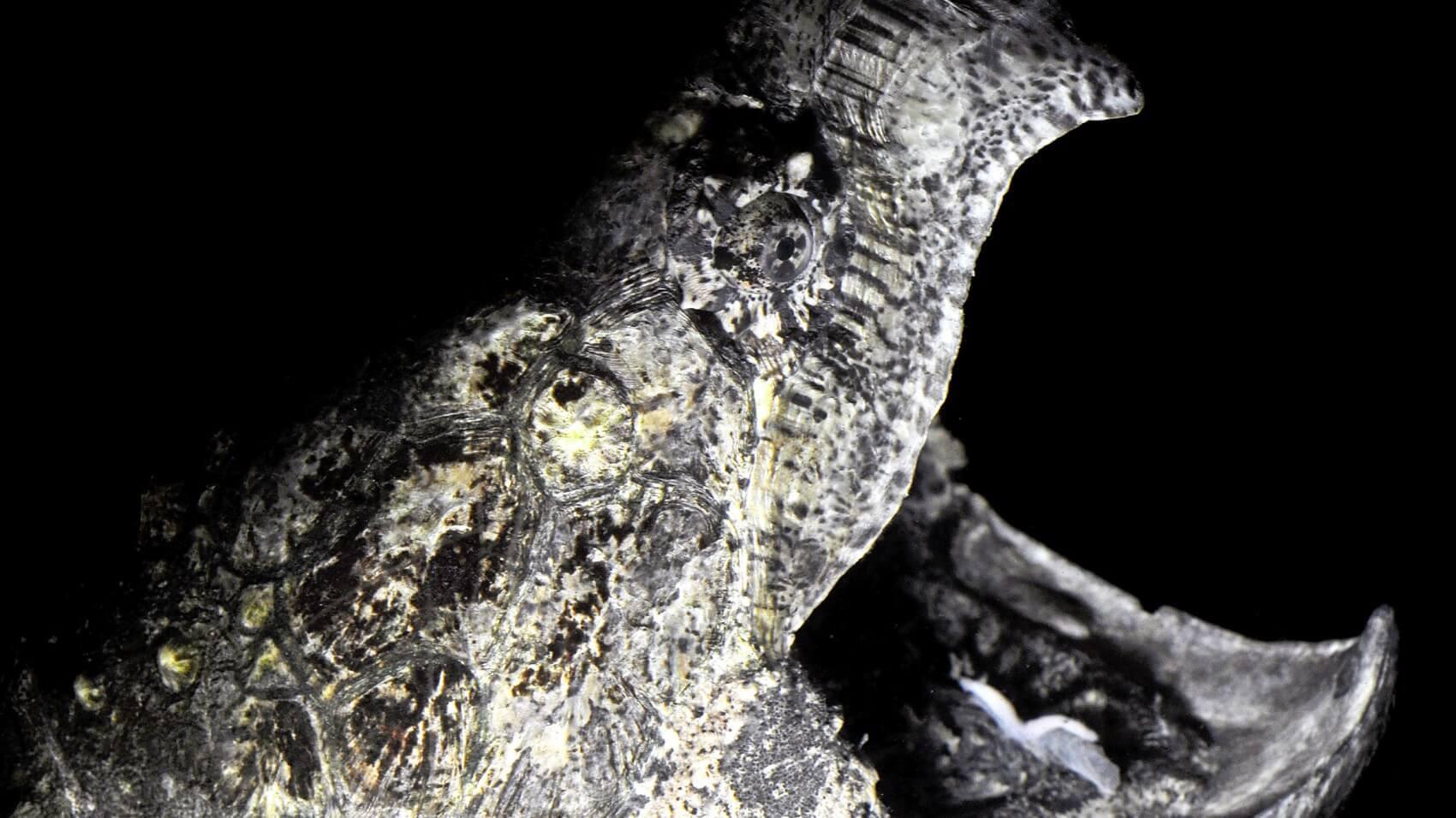 Alligatorskildpadden lever måske verdens kedeligste liv