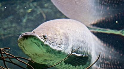 Kæmpe fisk med skudsikker vest