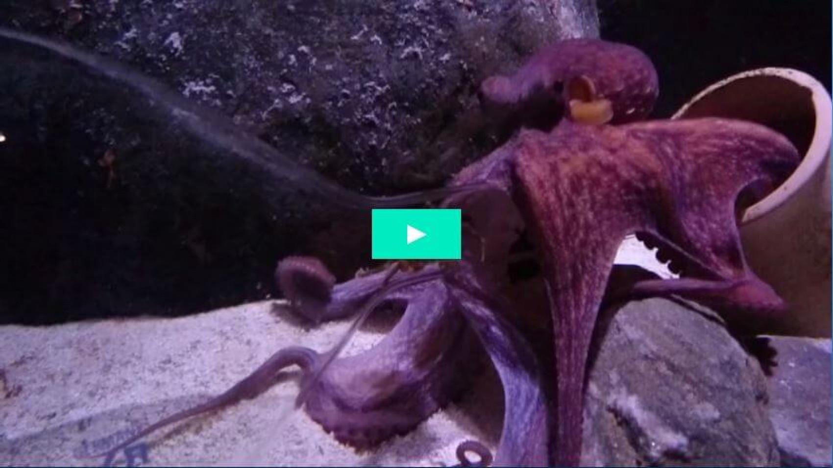 Blæksprutte fanger krabbe i glaskolbe