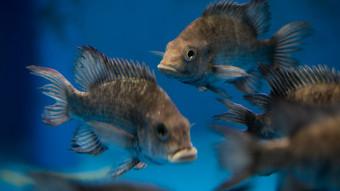 Nyt håb for kritisk truet fiskeart fra Madagaskar