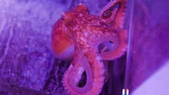 Findes der blæksprutter i Danmark?