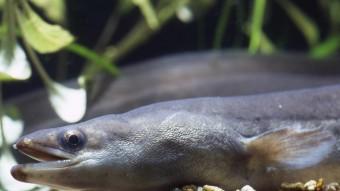 Gyder alle ål i Sargassohavet?