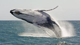 Hvad gør en hval, når det klør på ryggen?