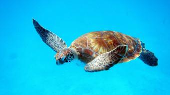 10 ting du (måske) ikke vidste om havskildpadder