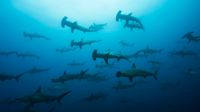 70 procent af verdens hajer er forsvundet på 50 år