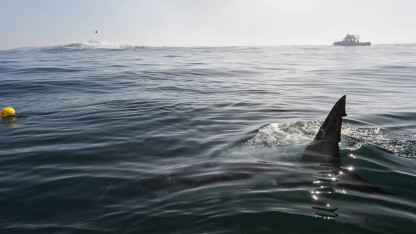 Hajer og rokker findes også i danske farvande - lad os passe godt på dem