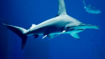 Skal dykkerne frygte oceantankens konge, hammerhajen?