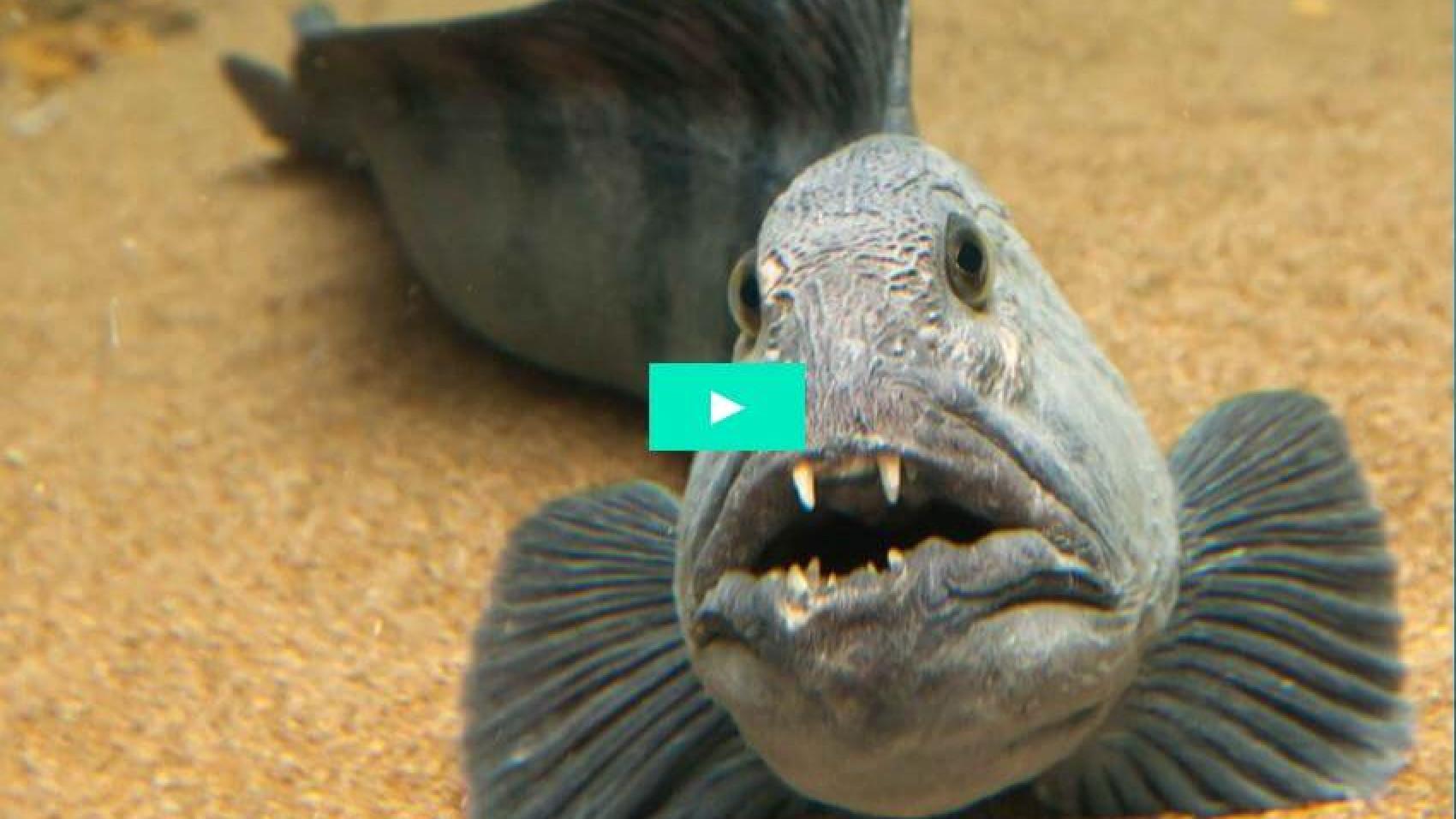 Havkat - blæksprutte 0 - 1