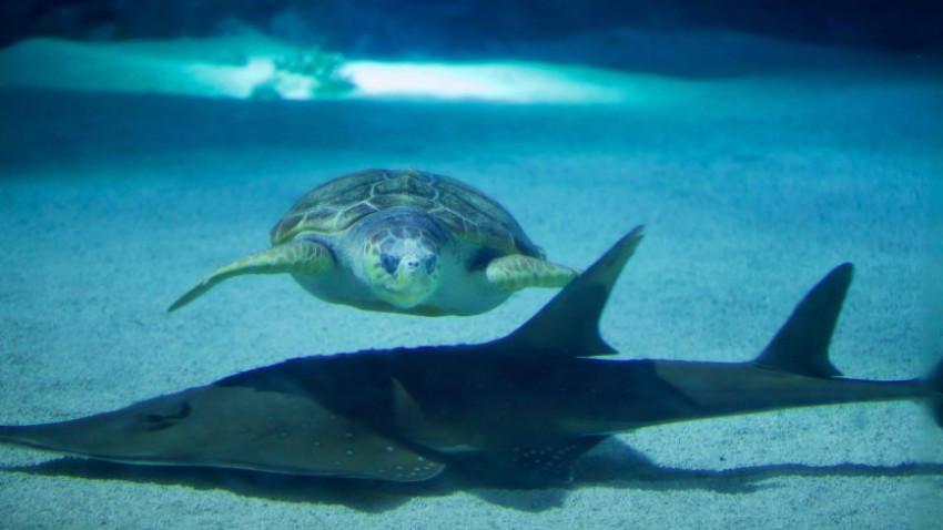 Smart trick hjælper havskildpadden med ikke at blive tyk