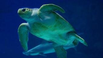 Vores store havskildpadde er stadig lidt for tyk