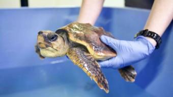 Strandet havskildpadde ankommet til Den Blå Planet