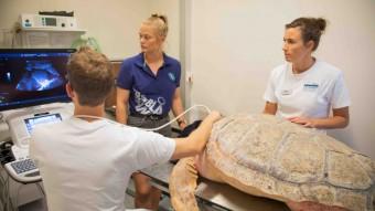 Havskildpadde til røntgen og ultralyd