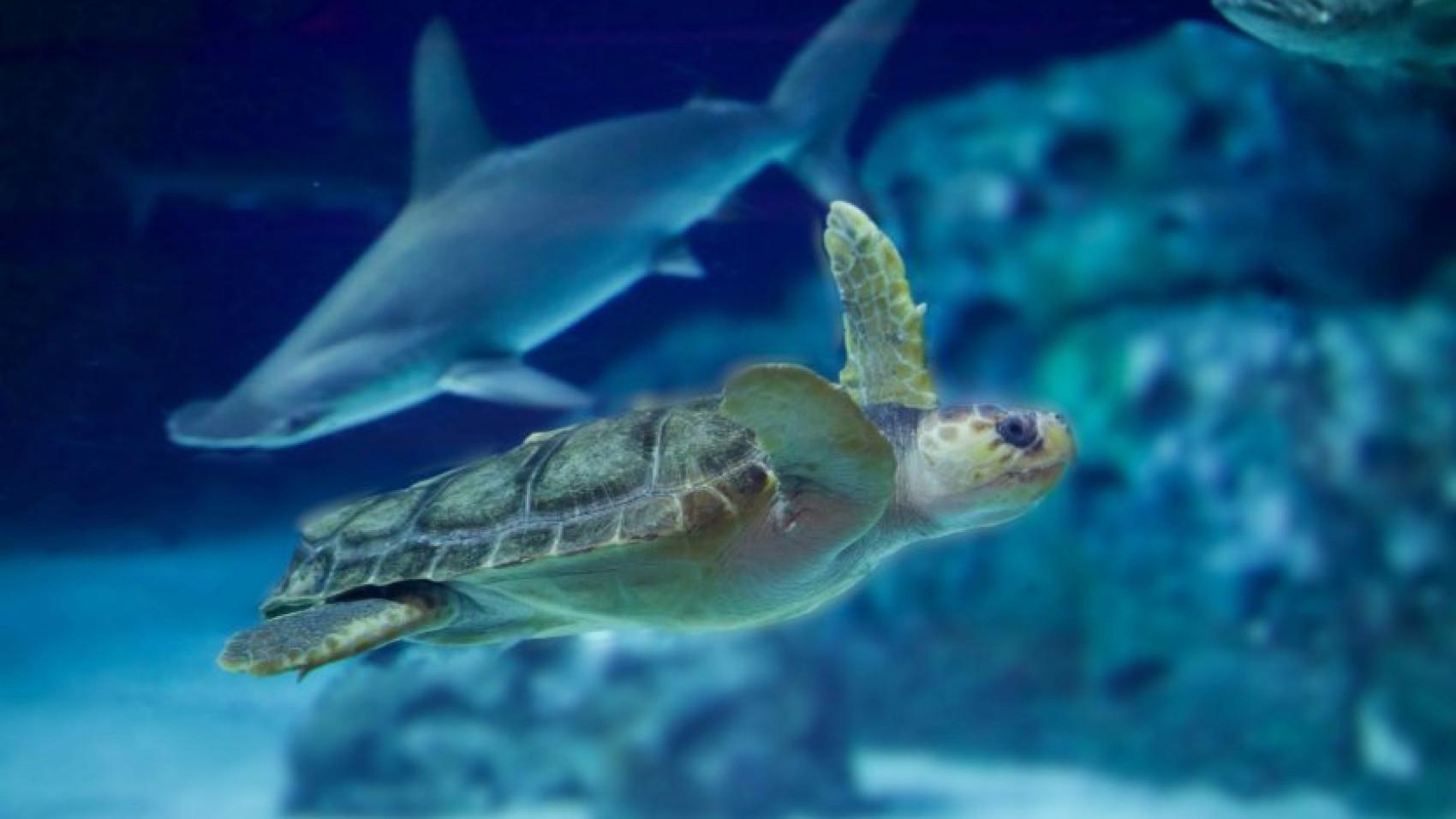 Endelig! Danmarks eneste havskildpadde flytter ind på Den Blå Planet