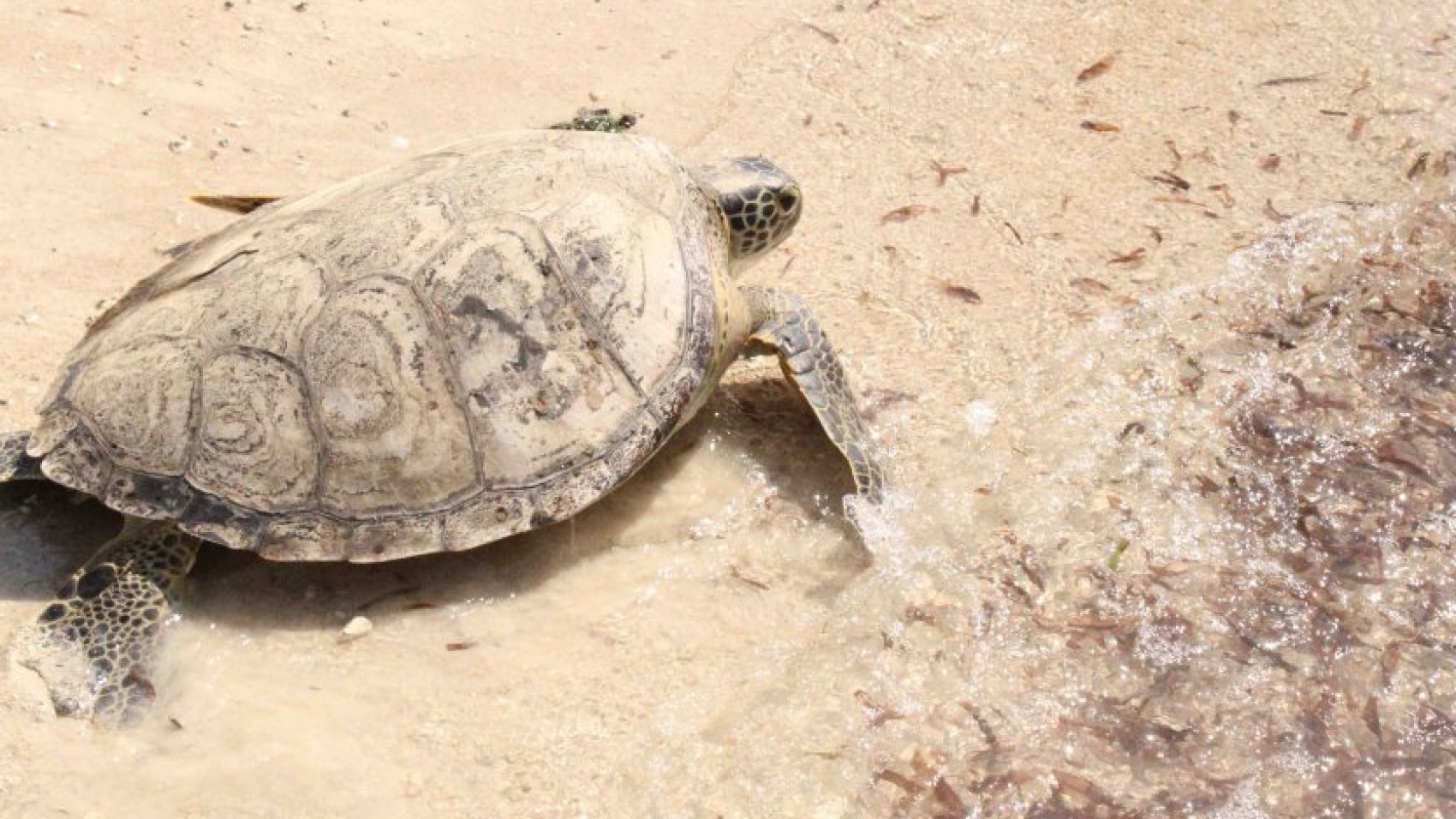 Havskildpadde genudsat i Kenya