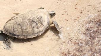 Den første havskildpadde i Kenya er reddet