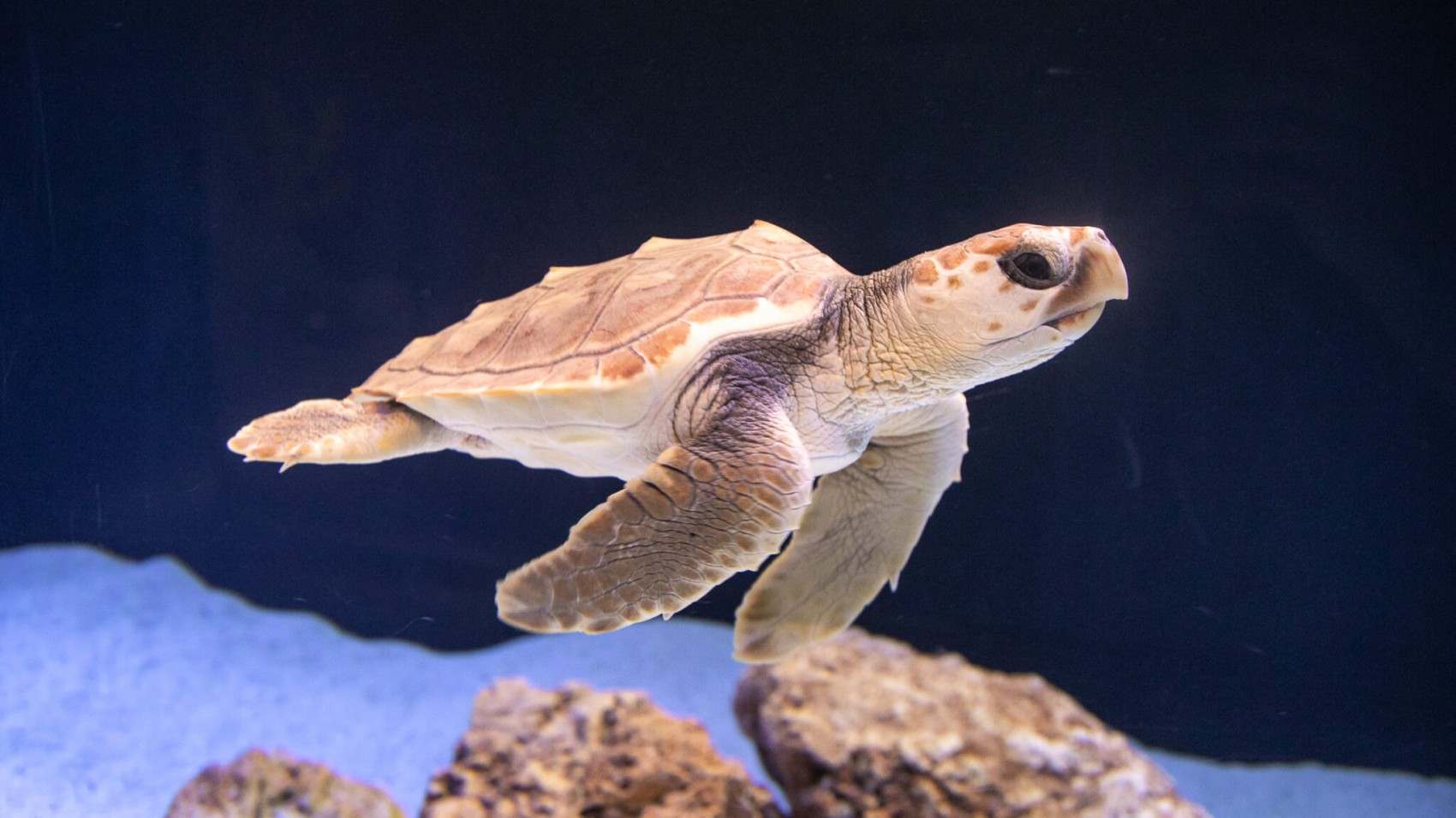 Strandet havskildpaddeunge får permanent adresse på Den Blå Planet