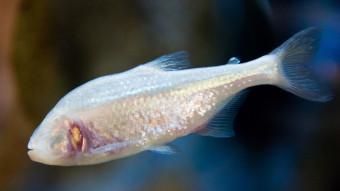 3 ting du kan lære af en blind hulefisk