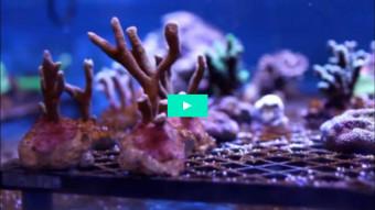Ny undervisning om koraller