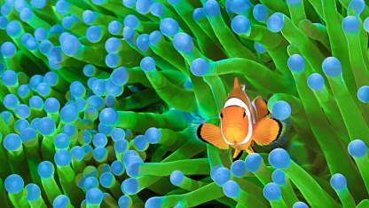 De sårbare koralrev