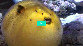 A rare sight: A puffed up pufferfish!