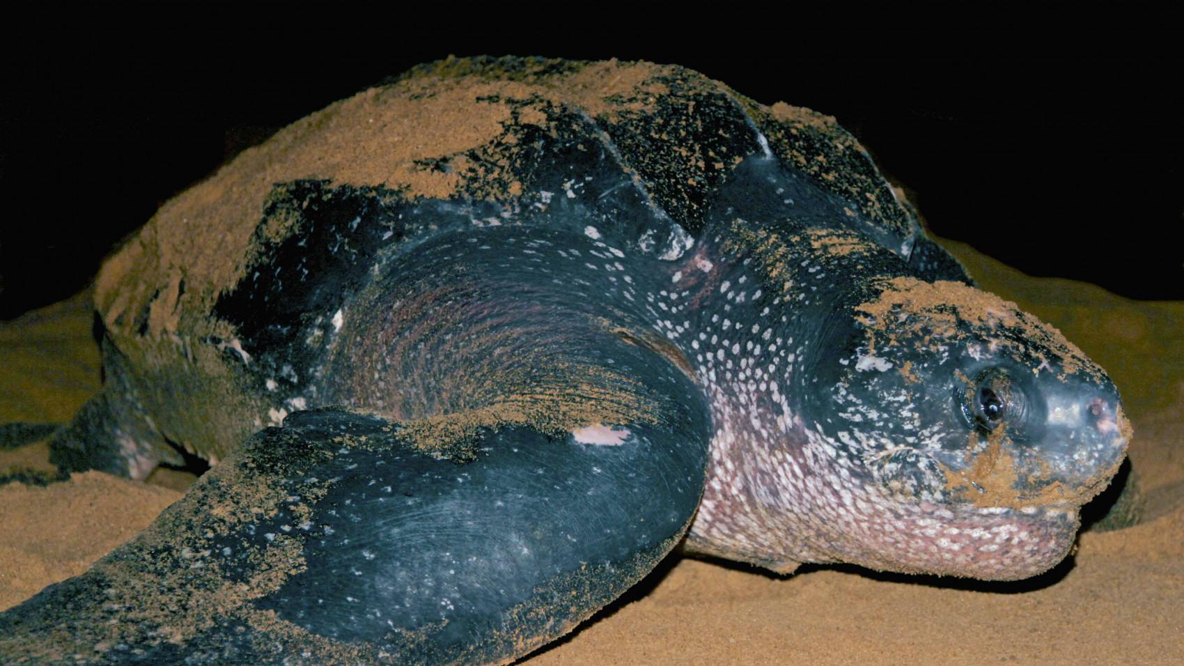 Læderskildpaddes mave var fuld af plastik