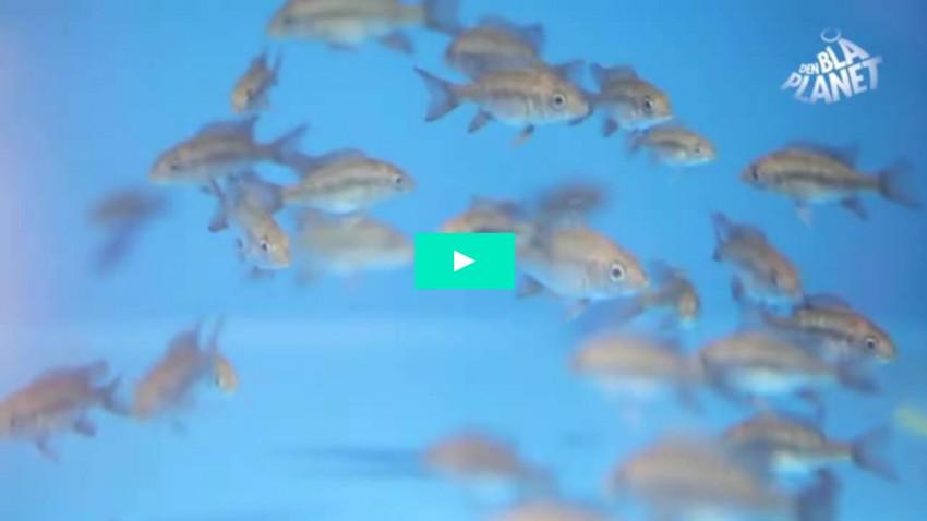 Are boring grey fish worth saving?
