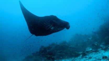 Manta-møde på revet