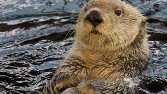 10 facts om havodder til Sea Otter Awareness Week