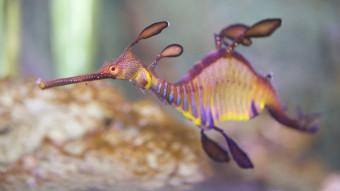 """Pjaltefisk behandles for """"dykkersyge"""""""