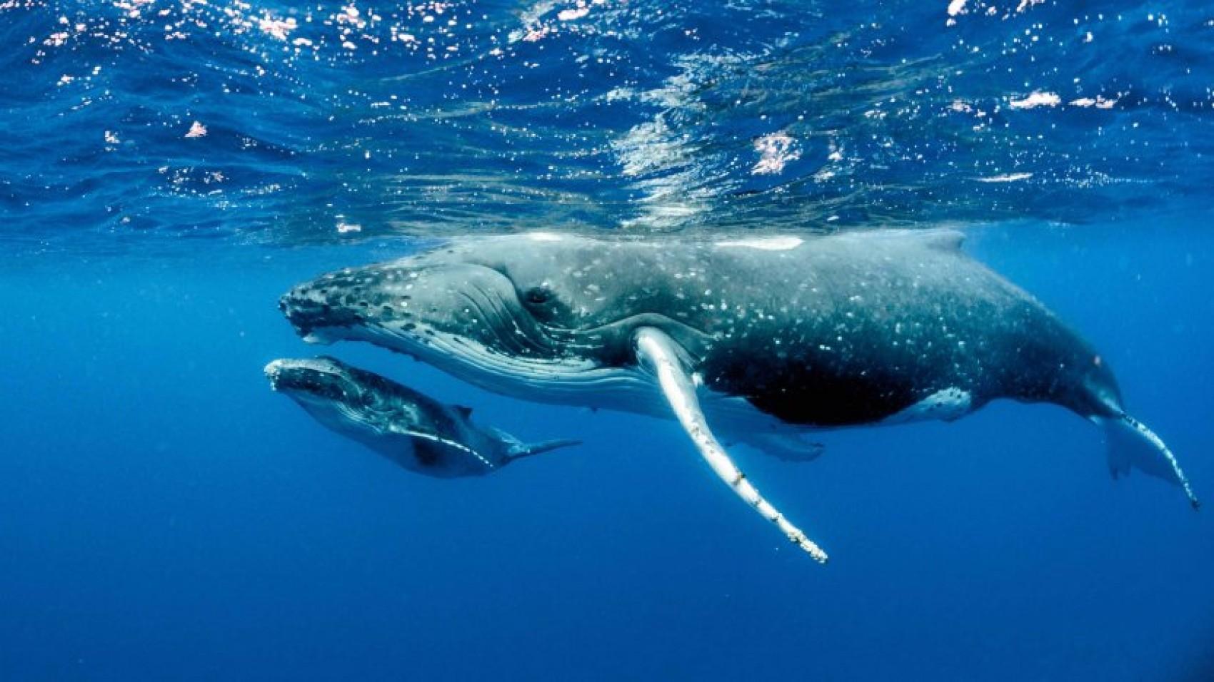 Hvordan laver hvaler lyde?