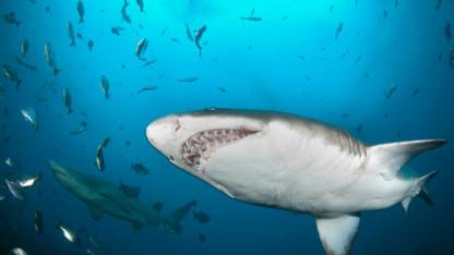 Hajer med ÆG-FACTOR